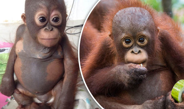 Cute Baby Cry Wallpaper Video Budi The Orangutan S Incredible Recovery Nature