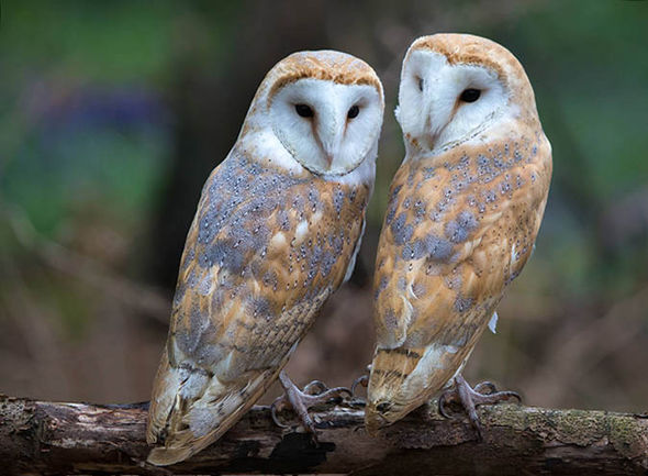 Cute Baby Flying Kiss Wallpaper Lovebirds Adorable Moment Two Barn Owls Pucker Up For The