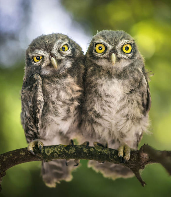 Funny Wallpapers Nature With Small Quotes Amazing Pictures Show Annoyed Owl Making Faces Nature