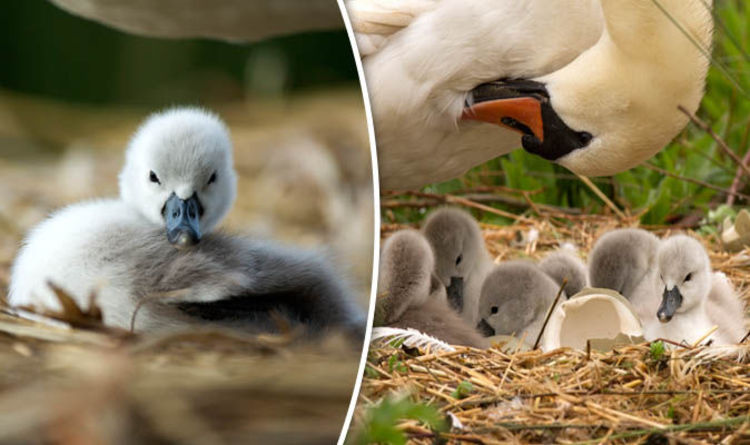 Cute Baby And Mother Wallpaper This Little Cygnet Shows How Cute Baby Swans Can Be