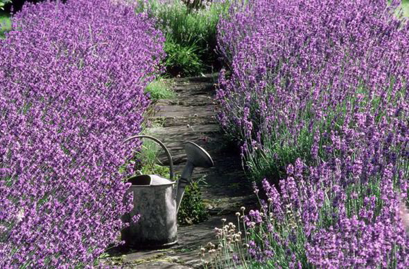 Alan Titchmarsh Tips On Growing Lavender In Your Garden | Garden
