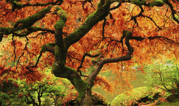 New Hampshire Fall Foliage Wallpaper Maple Trees That Will Give Your Garden An Annual Autumn