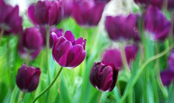 Tulips Flower Uk How To Plant Tulips For A Long Flowering Season | Express