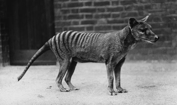 Tiger Animal Wallpaper Extinct Tasmanian Tiger Has Been Caught On Camera Says