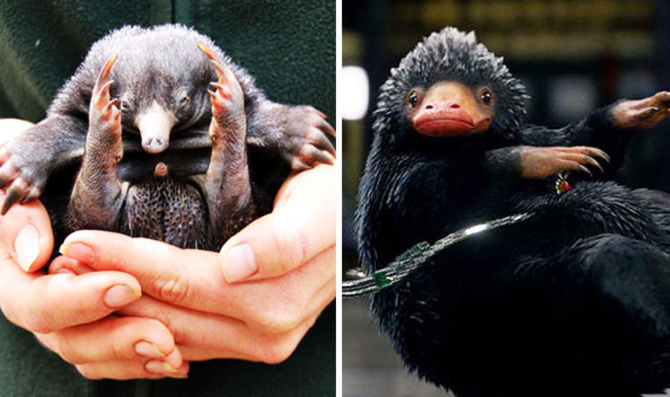 Fantastic Beasts Nifflers Are Inspired By Echidna Puggles