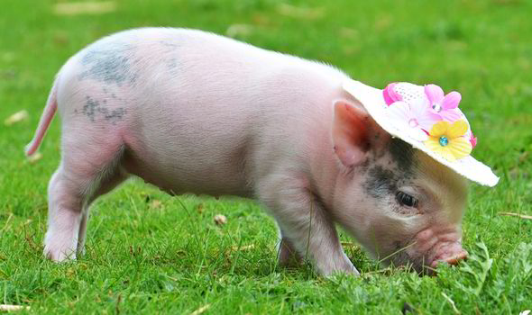 Cute Baby Pig Wallpaper Micro Pig Cafe To Open In London Weird News Express