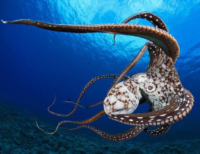 Killer octopus Putin