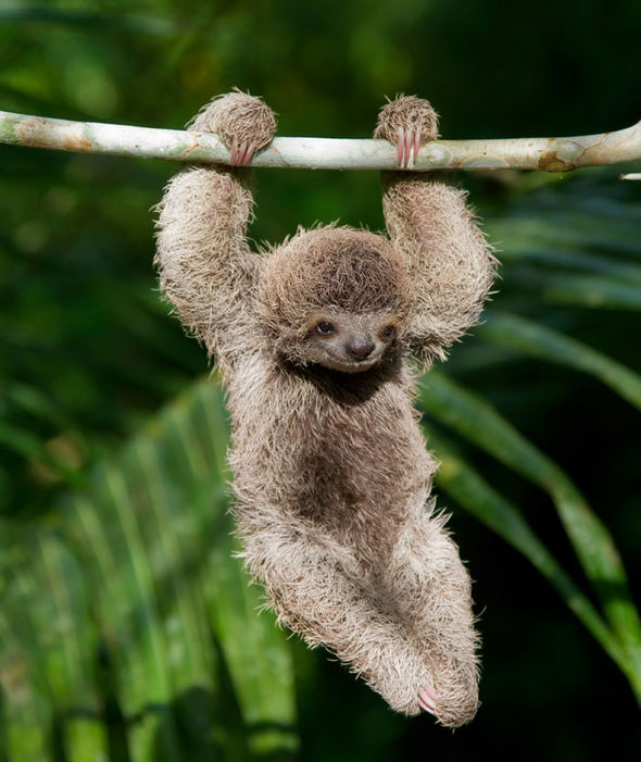 Cute Sloth Wallpaper Baby Sloth These Laidback Mammals Hang On Trees In The