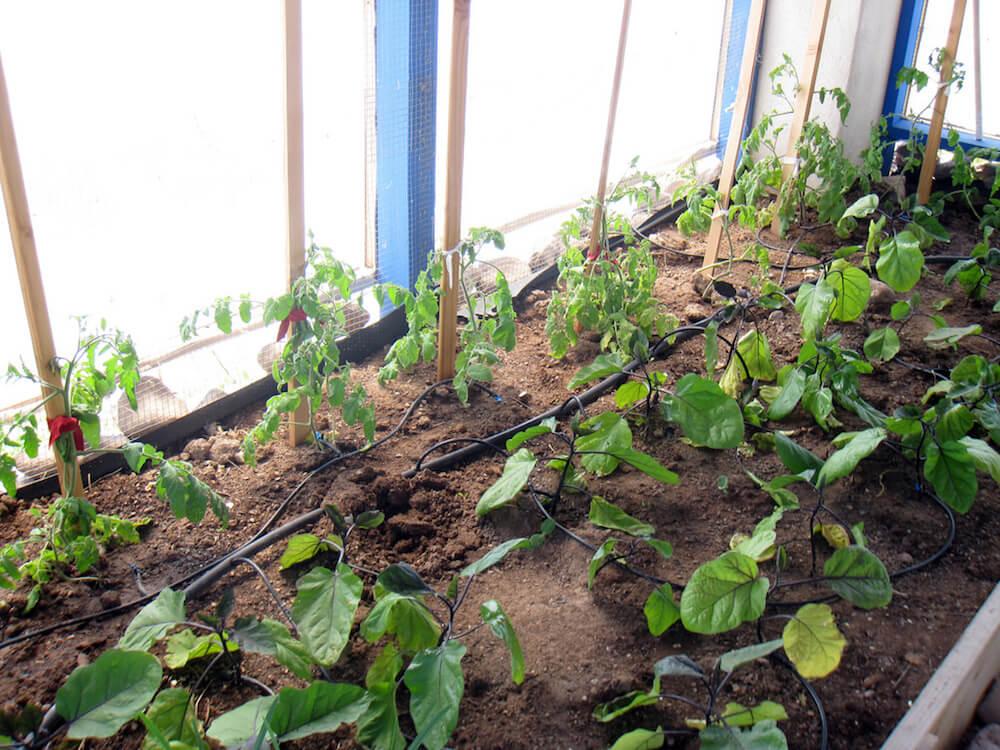 Companion Planting For Eggplant \u2022 Insteading