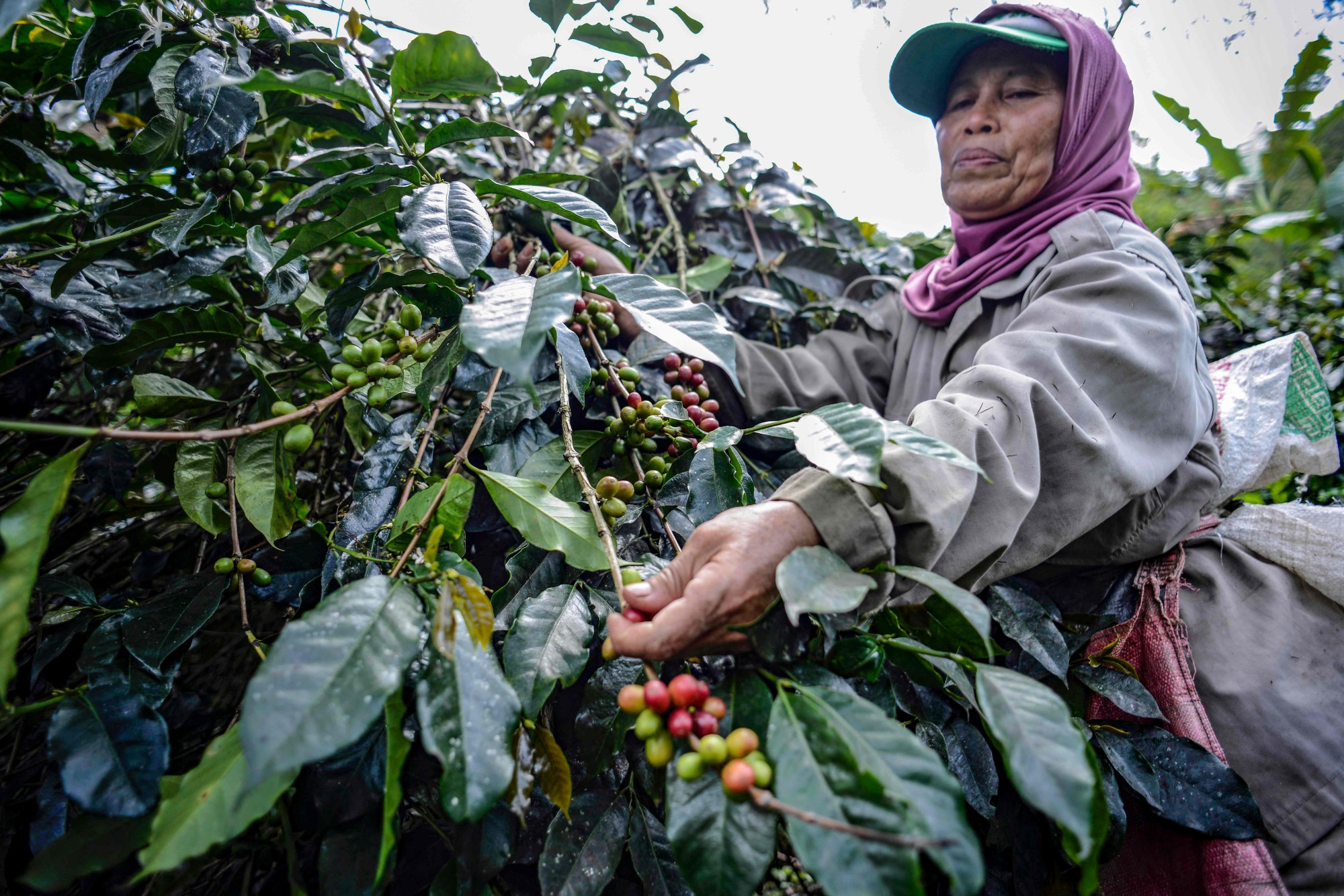 Coffee Arabica In Ethiopia Warming And Deforestation Threatening Coffee Species