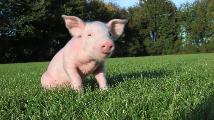 46 Names for Pet Pot-Bellied Pigs