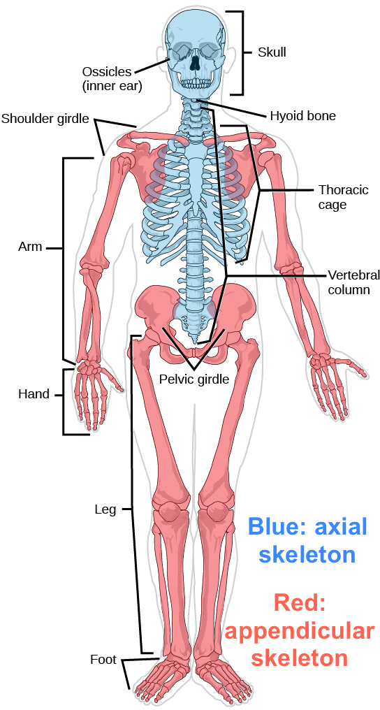 The musculoskeletal system review (article) Khan Academy
