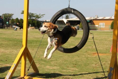 狗狗跳輪胎