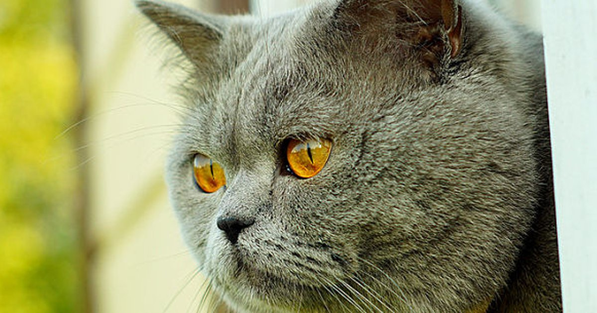 10 Short-Haired Cat Breeds - Care