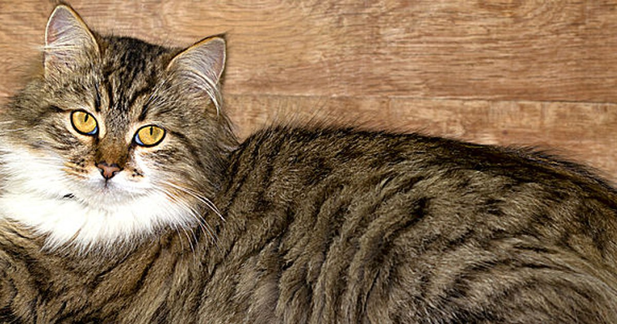 10 Large Cat Breeds The Next Best Thing To Owning A Tiger! - Care