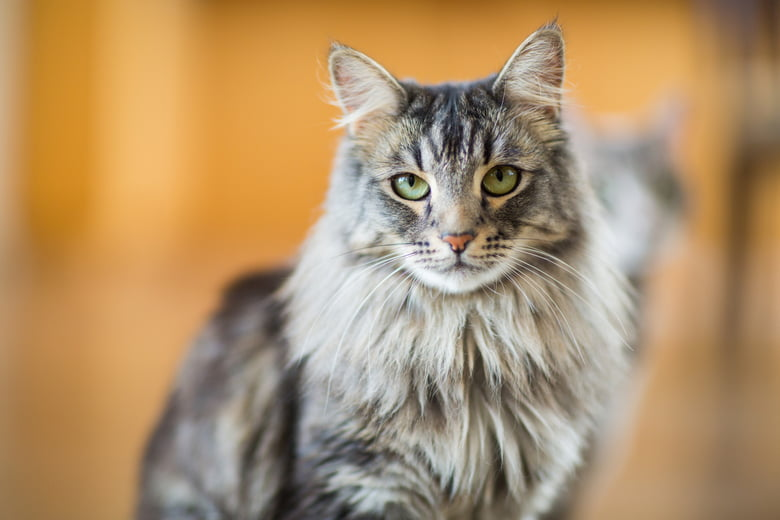 10 Large Cat Breeds All The Basics About Big House Cats - Care