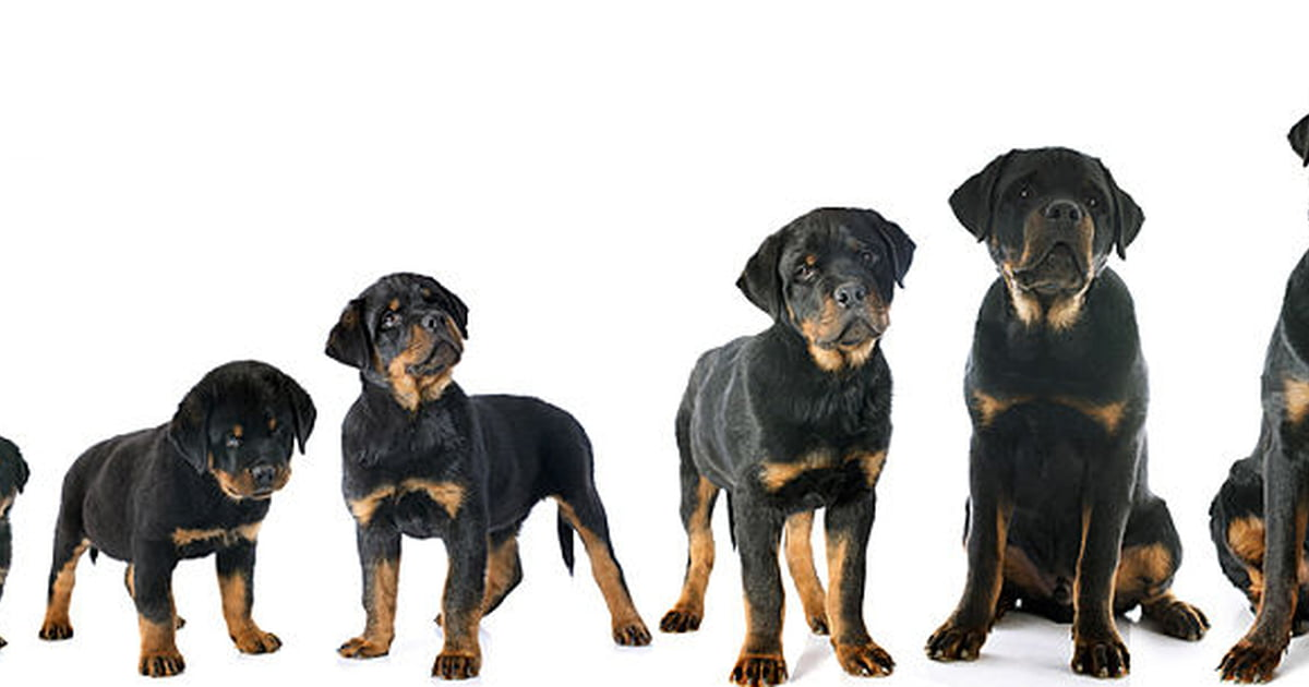 Use A Puppy Growth Chart To Determine Size - Care
