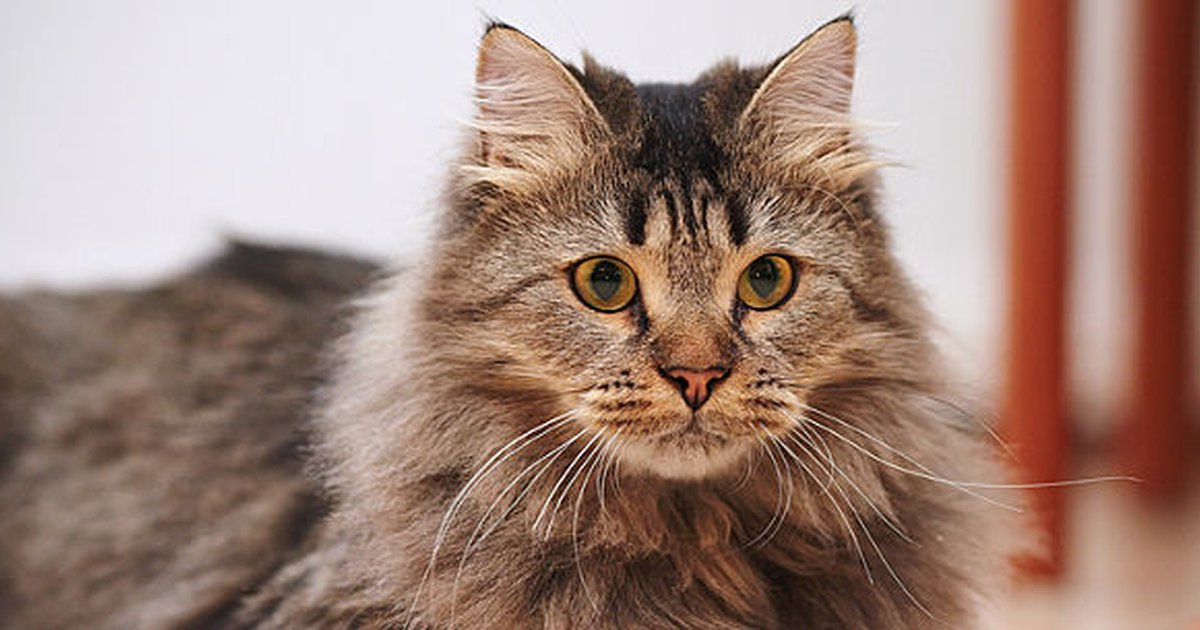 Top 10 Fluffy Cat Breeds - Care