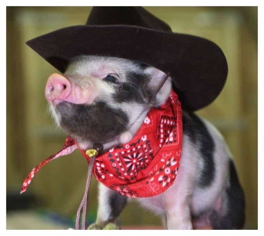 Cute Baby Pig Wallpaper 20 Of The Most Fashionable Pigs You Ve Ever Seen