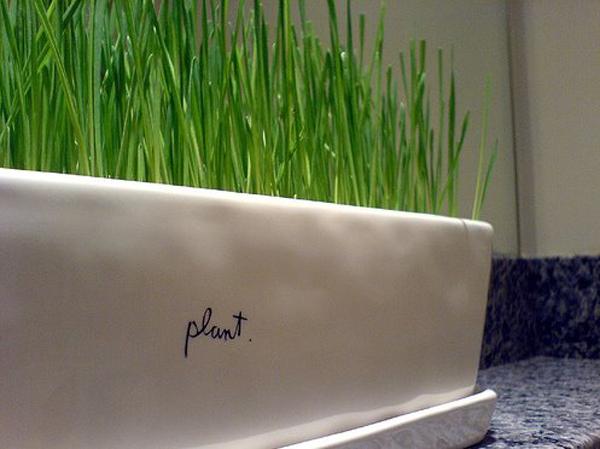 Wheatgrasshowto