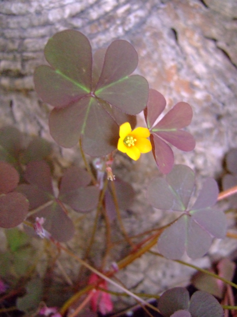 tinyyellowsorrel.jpg