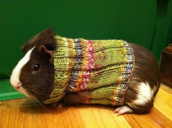 Knitted Sweaters For Guinea Pigs Make: