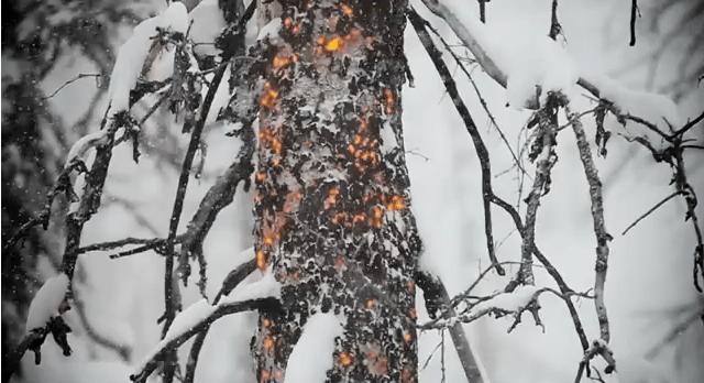 switchback tree