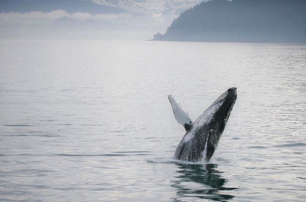 Humpback whale. Photo by Christopher DiNottia, Courtesy of The Biomimicry 3.8 Institute