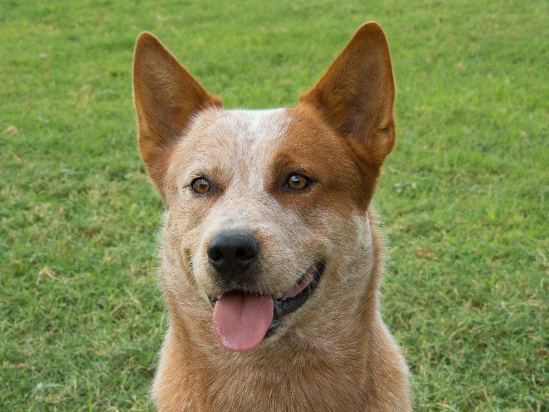 Australian Cattle Dog Australian Cattle Dog Breed Pictures And Information
