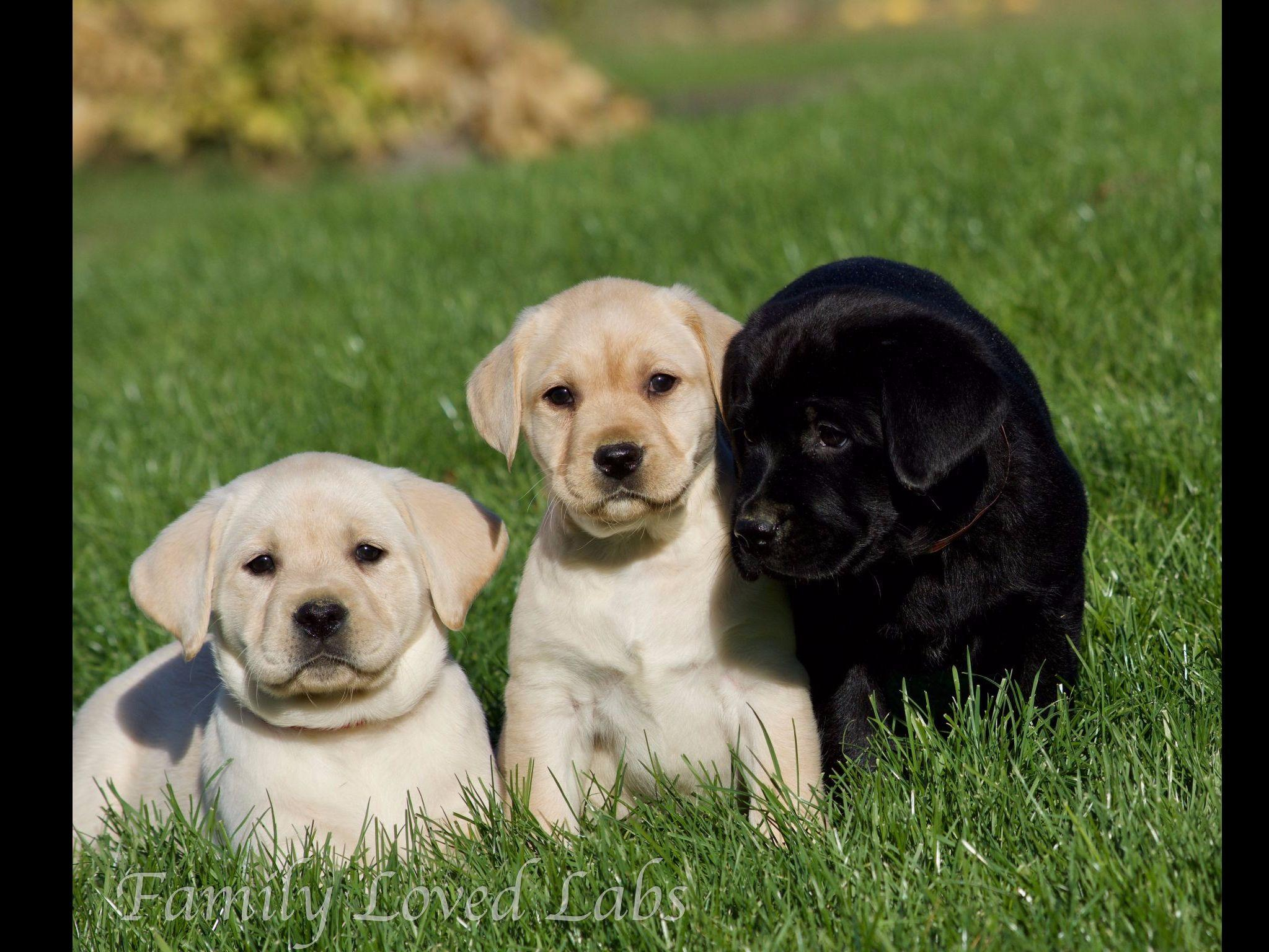 English Yellow Lab Puppies For Sale English Lab Puppy Quotfamily Loved Labs Quot Labrador Retriever