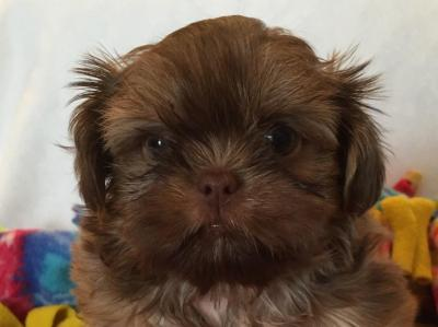 Shih Tzu Puppies For Sale Near Fleetwood, North Carolina - AKC Marketplace