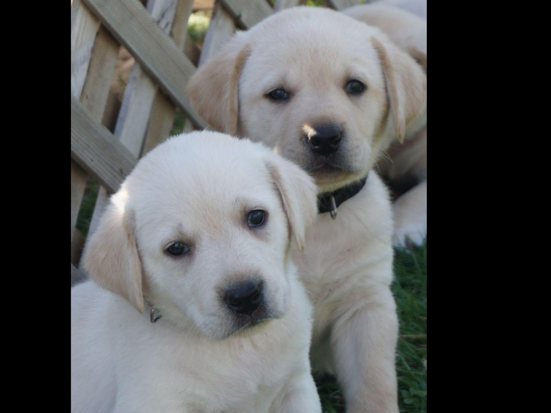 English Yellow Lab Puppies For Sale Labrador Retriever For Sale By Leadhill Yellow White