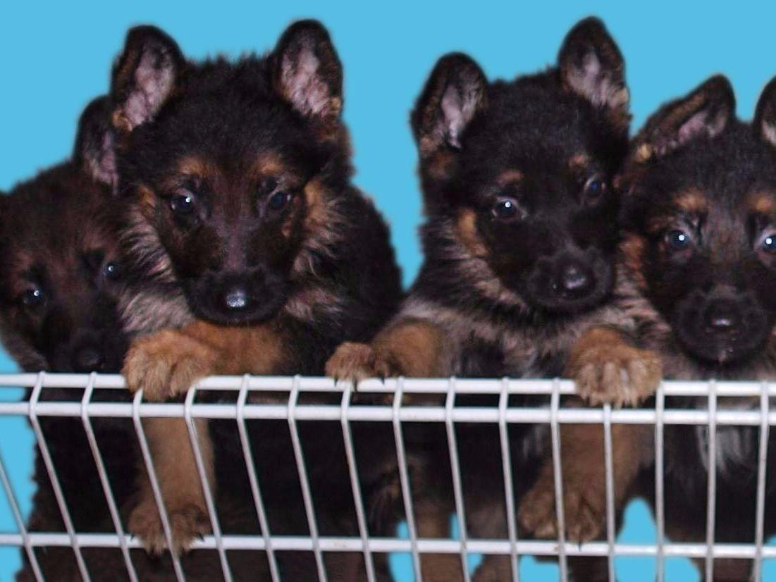 Image For German Shepherd Germany