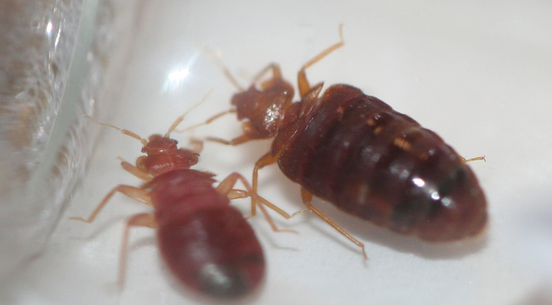 Images Of Bed Bugs How To Prevent Bed Bugs While Traveling Modern Pest