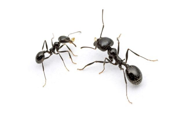 Homeowners Insurance New Hampshire Carpenter Ants - Ant Identification & Control | Modern Pest