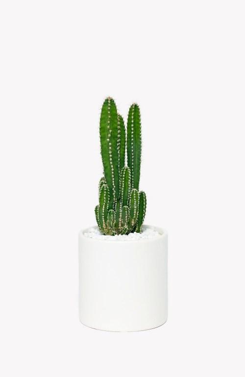 Medium Of Fairy Castle Cactus