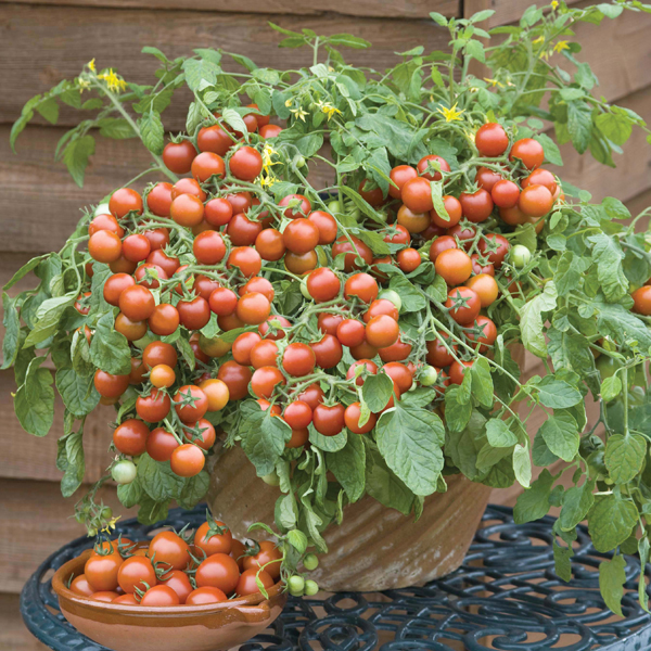 Get Growing Tomato Tumbling Cherry - Cherry Falls Seeds From Mr