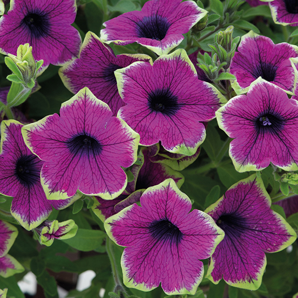 Petunia Designer Buzz Purple Plants from Mr Fothergill\u0027s
