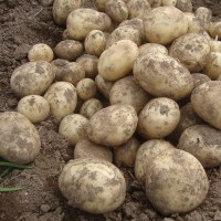 Late Cropping Patio Potato Re-Fill Kit from Mr Fothergill ...