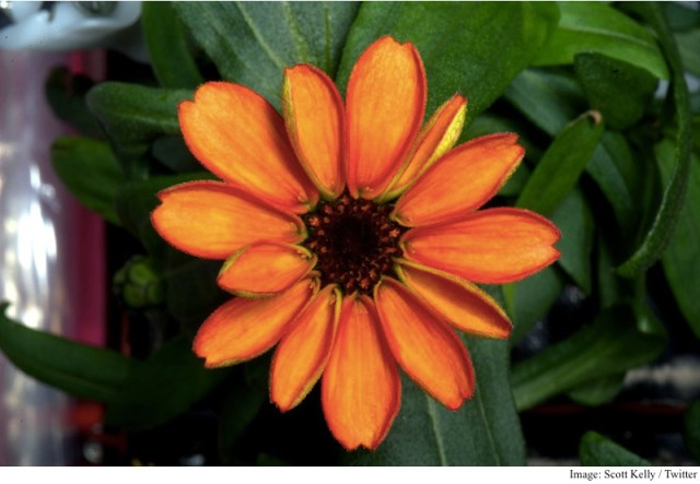 Nasa's Scott Kelly Shares Photo of First Flower Grown in Space