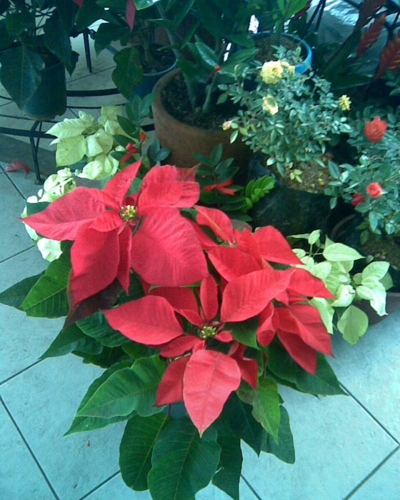 Concrete Countertops Cost Six Facts About Poinsettias - Networx