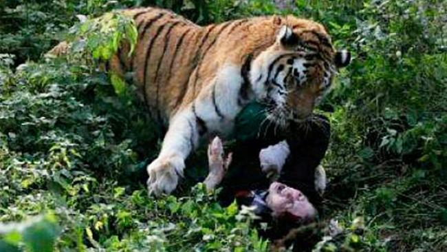 Lion Animal Wallpaper Tiger Attack Female Zookeeper Attacked In Russia