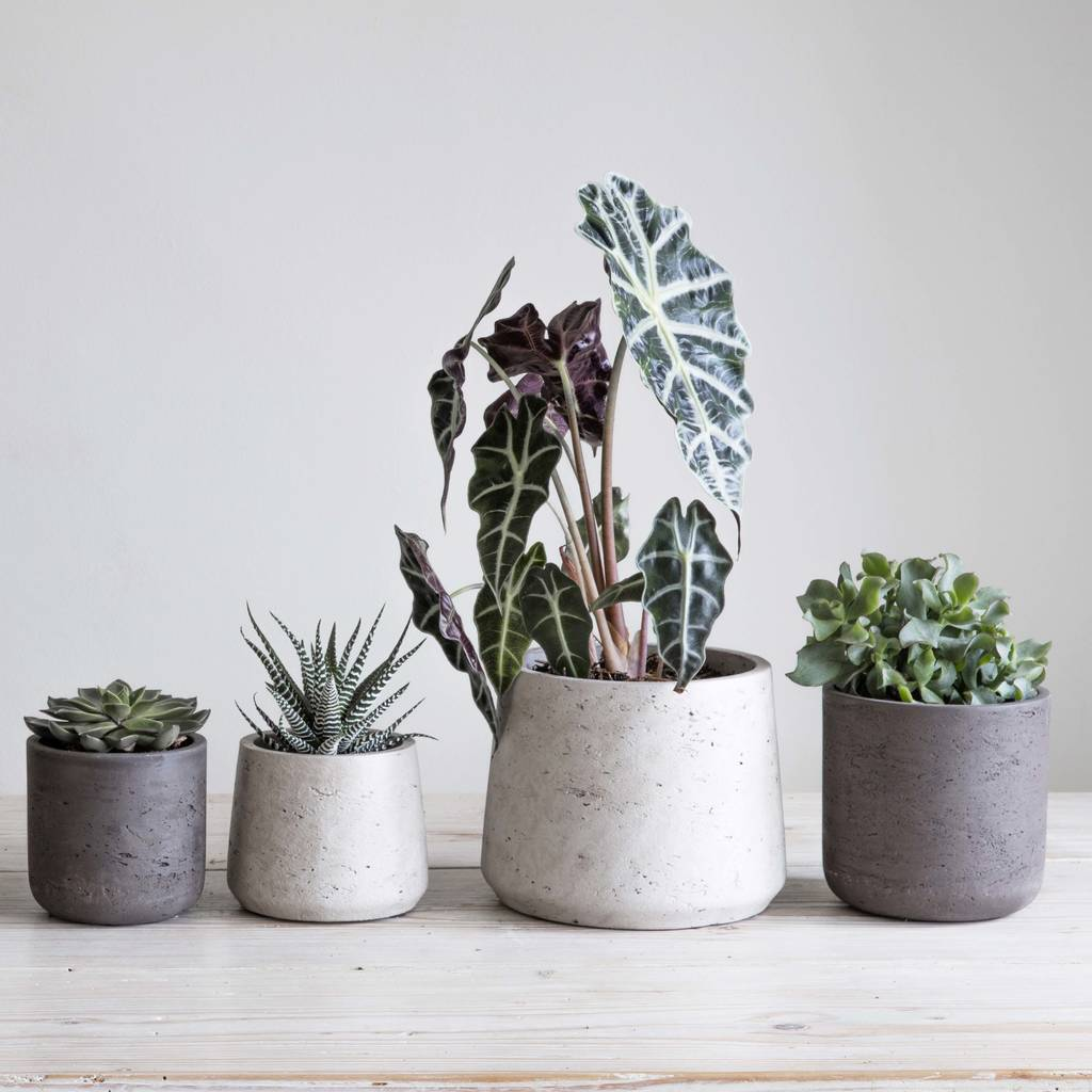 Indoor Pot Plants Cement Plant Pot Set Of Two By Idyll Home