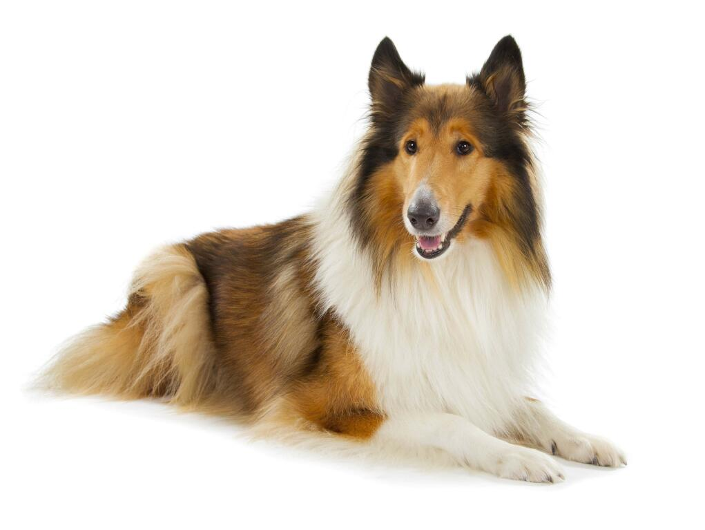 Cute White Dogs Wallpapers Collie Rough Dogs Breed Information Omlet