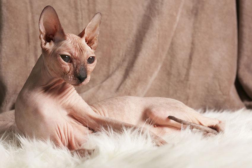 Best Hypoallergenic Cat Breeds Choosing The Right Cat