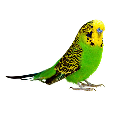 High Definition Animal Wallpapers The World S Most Popular Pet Bird Introduction To