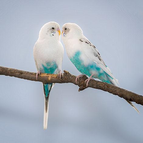 Cute Parakeet Wallpaper Normal Budgie Behaviour Budgie Behaviour Budgie Guide