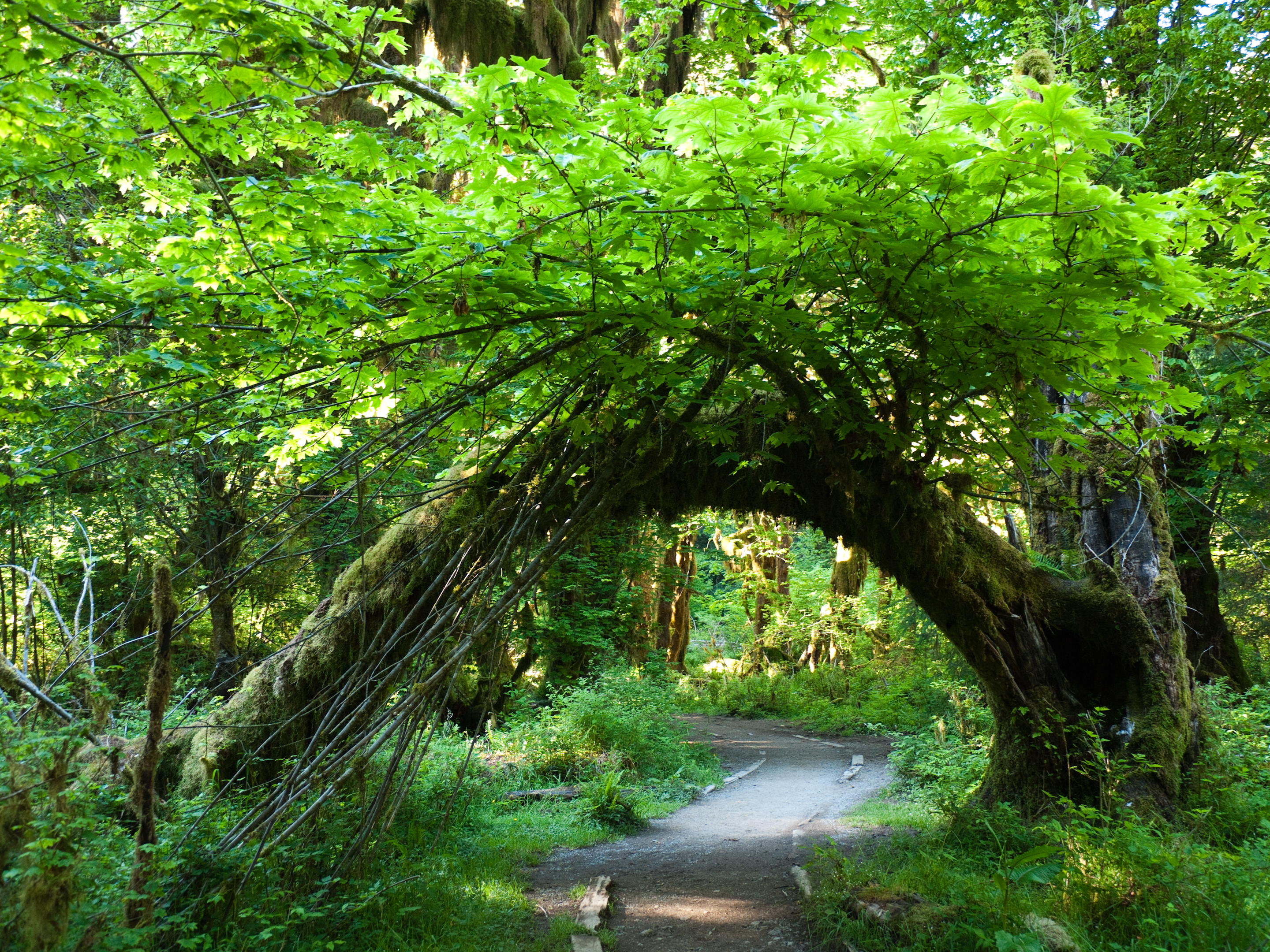 Michigan State Hd Wallpaper The Hall Of Mosses Trail In Washington Is Like Something