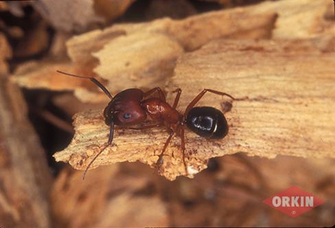 Carpenter Ant Control Get Rid Of Carpenter Ants