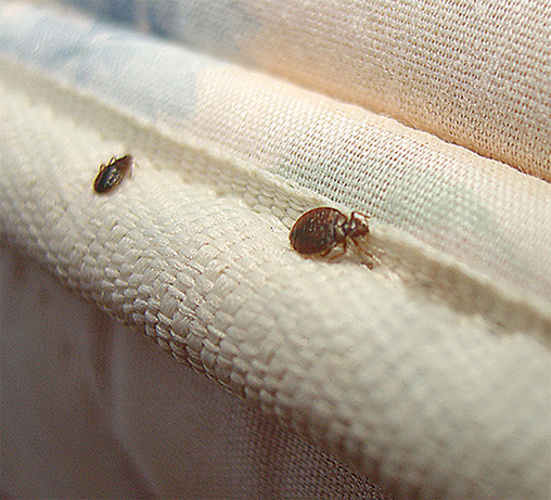 Bed Bug Control  Removal How to Get Rid of Bed Bugs